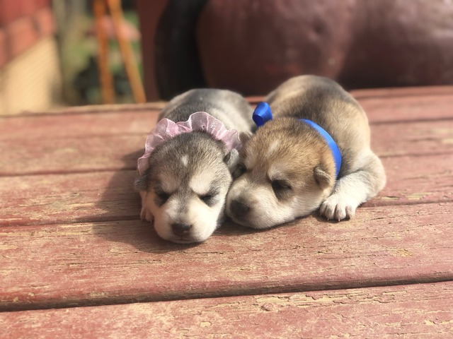 Gerberian Shepsky Puppies For Sale In Chickasaw County Mississippi